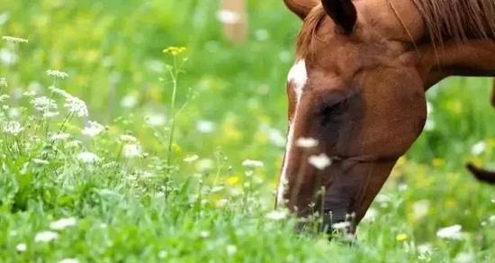 春天,马儿吃刚生长的绿草