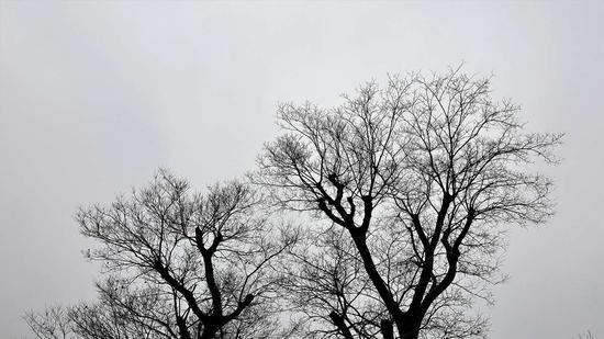 如皋的冬树
