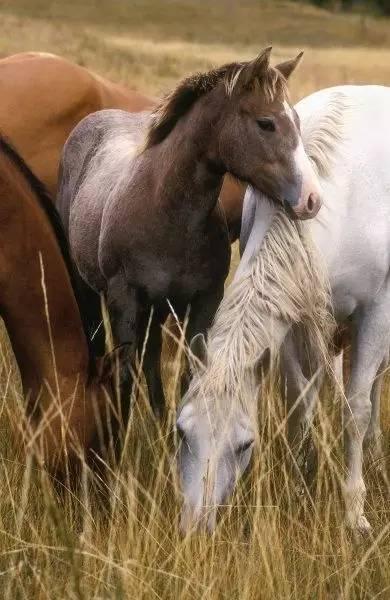 马儿也是尊老爱幼的楷模 马群中为何雌马多当家