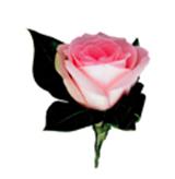 官方吉祥花:粉红玫瑰