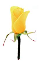官方吉祥花:黄玫瑰