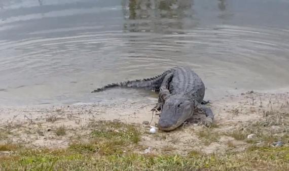 亮瞎!鳄鱼吞食高尔夫