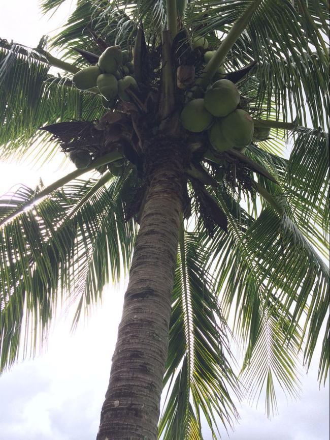 球场遍布的椰子树结满果实