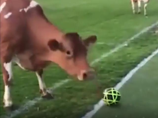 视频-球场变牧场 !180多头牛入侵球场致比赛中断