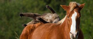 南非狒狒打扰马儿午睡