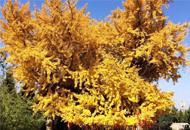 楼观宗圣宫2600年的银杏树