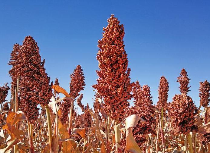 佳县5万亩高粱喜获丰收