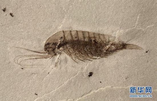 """""""清江生物群""""中发现的林乔利虫化石。新华社发(西北大学供图)"""