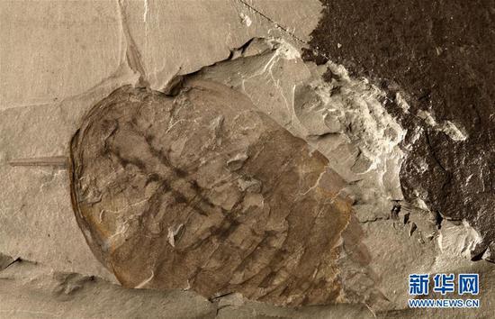"""""""清江生物群""""中发现的新物种化石。新华社发(西北大学供图)"""