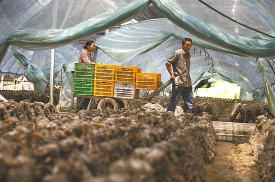 进入香菇采摘的旺季,王顺材和周凤莲每天都要在大棚里连续劳作十个小时以上。
