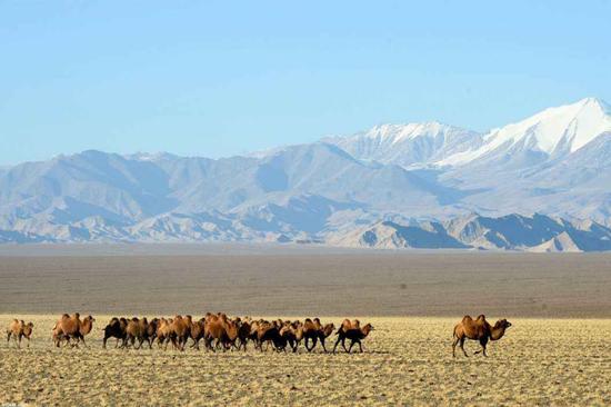 安南坝野骆驼国家级自然保护区,这辈子第一次看到这么多骆驼!