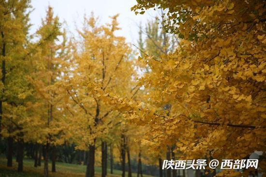 满树金黄,绚丽的令人欣喜,曼妙得像是一个童话世界。