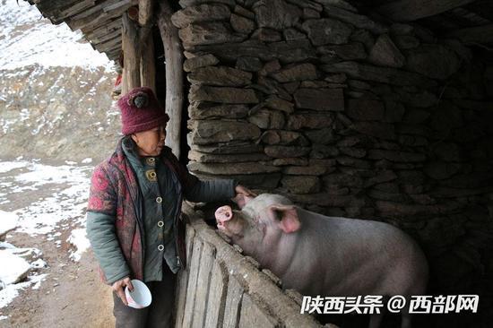 刘左翠说,这头母猪一年下两窝,自己留几头养,别的小猪仔可以卖。