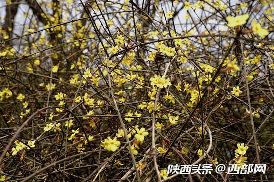 """西安兴庆公园里腊梅""""辞旧""""迎春花""""报喜"""" 惹游客驻足玩赏。"""