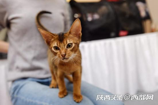 """世界名猫西安""""走秀"""""""
