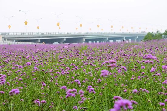 这片紫色花海,便是泾河新城夏天最美的期待!