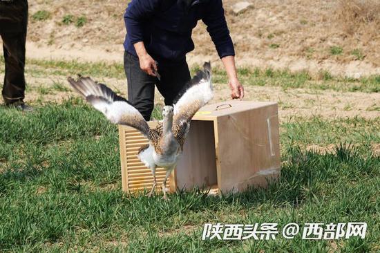 陕西省珍稀野生动物救护基地将救护恢复后大鸨和黑鹳放归野外
