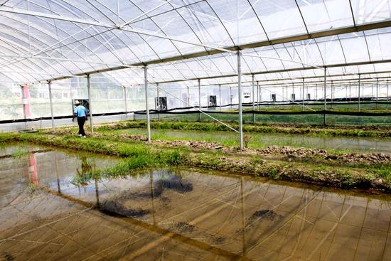 位于五龙庵村的蟾蜍幼苗孵化工厂。周泽华 摄