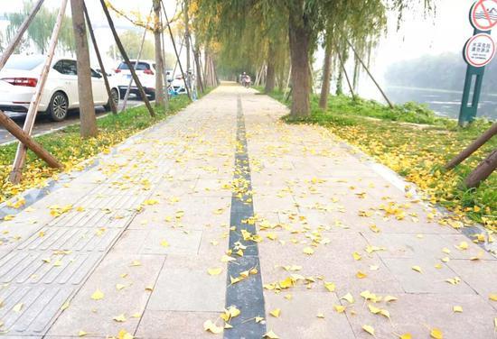 浐灞这800棵银杏树,正预谋一场与你的邂逅