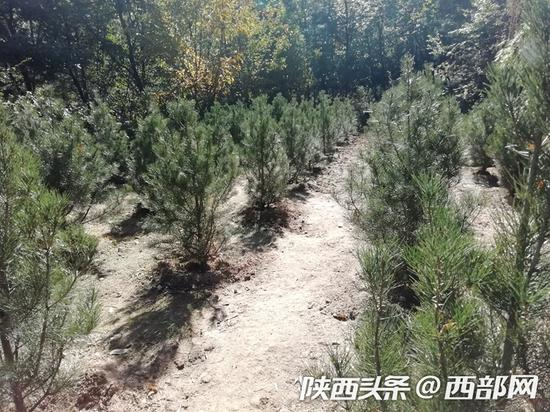 南五台风景林场康峪沟内郁郁葱葱的白皮松。