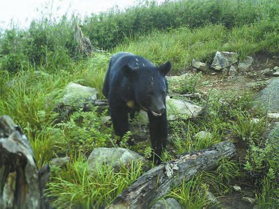黑熊 王程亮提供
