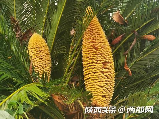 铁树树冠内侧开了2多大小不一的花。