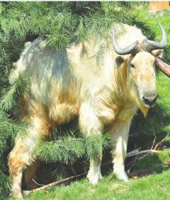 国宝羚牛。