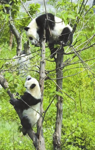 生活在秦岭北麓的大熊猫。