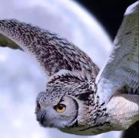 不过,身为鸟界哈士奇,它也可以很萌,被这双眼睛看着简直没有抵抗力啊!
