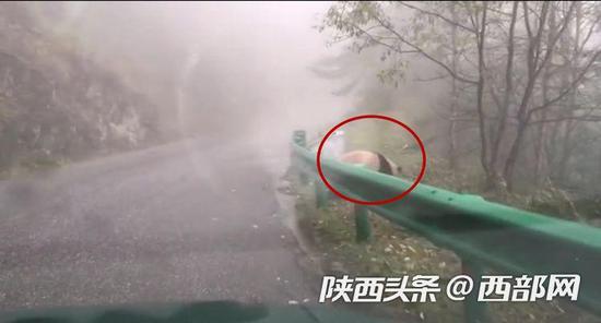 游客王先生前往太白县黄柏塬景区的路上偶遇国宝大熊猫。