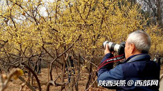 腊梅、迎春花引来了不少摄影爱好者前来捕捉美景。