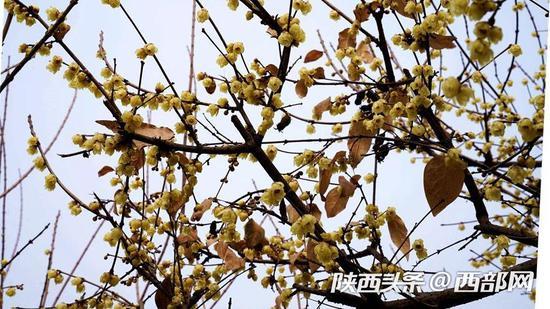 在公园的另一角,朵朵腊梅仍傲然于枝头。