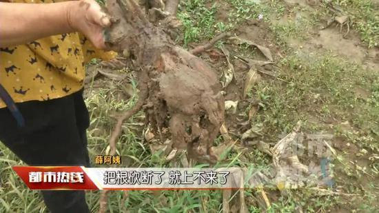 猕猴桃树被砍的当晚,当地下了一场大雨,果园里也清晰留下了可疑的脚印。