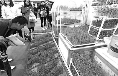 阳台以及纸上种植的芽菜 本报记者 陈飞波 摄