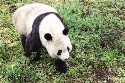 秦岭四宝 大熊猫
