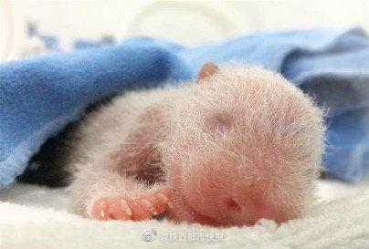 陕西秦岭大熊猫野外种群密度增幅全国第一