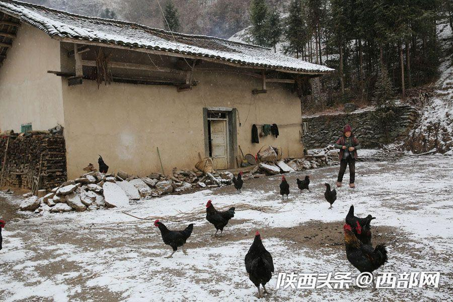 家里养了20多只鸡,刘左翠说他们自己过年了不吃鸡,这些鸡都是要卖钱的。