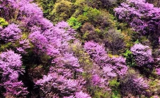 冷艳含香——紫荆花