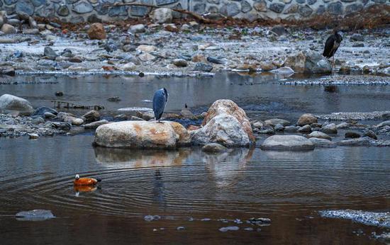 黑鹳和苍鹭、赤麻鸭在一起。 通讯员 赵建强摄