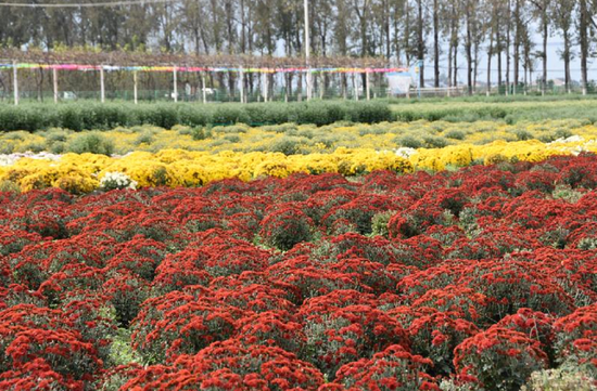 西安市鄠邑区第三届重阳仙菊文化节即将开幕
