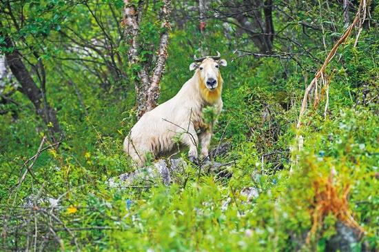 周至国家级自然保护区内的羚牛。 本报记者 袁景智摄