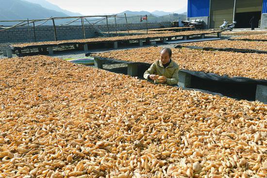 宁强县大力发展中药材种植产业,很多贫困户因种植天麻脱贫
