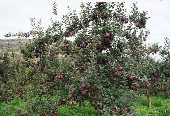 """花牛苹果""""就很牛""""崛起之路"""