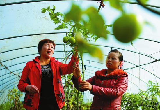 勉县立集村发挥资源优势,积极发展大棚蔬菜种植产业