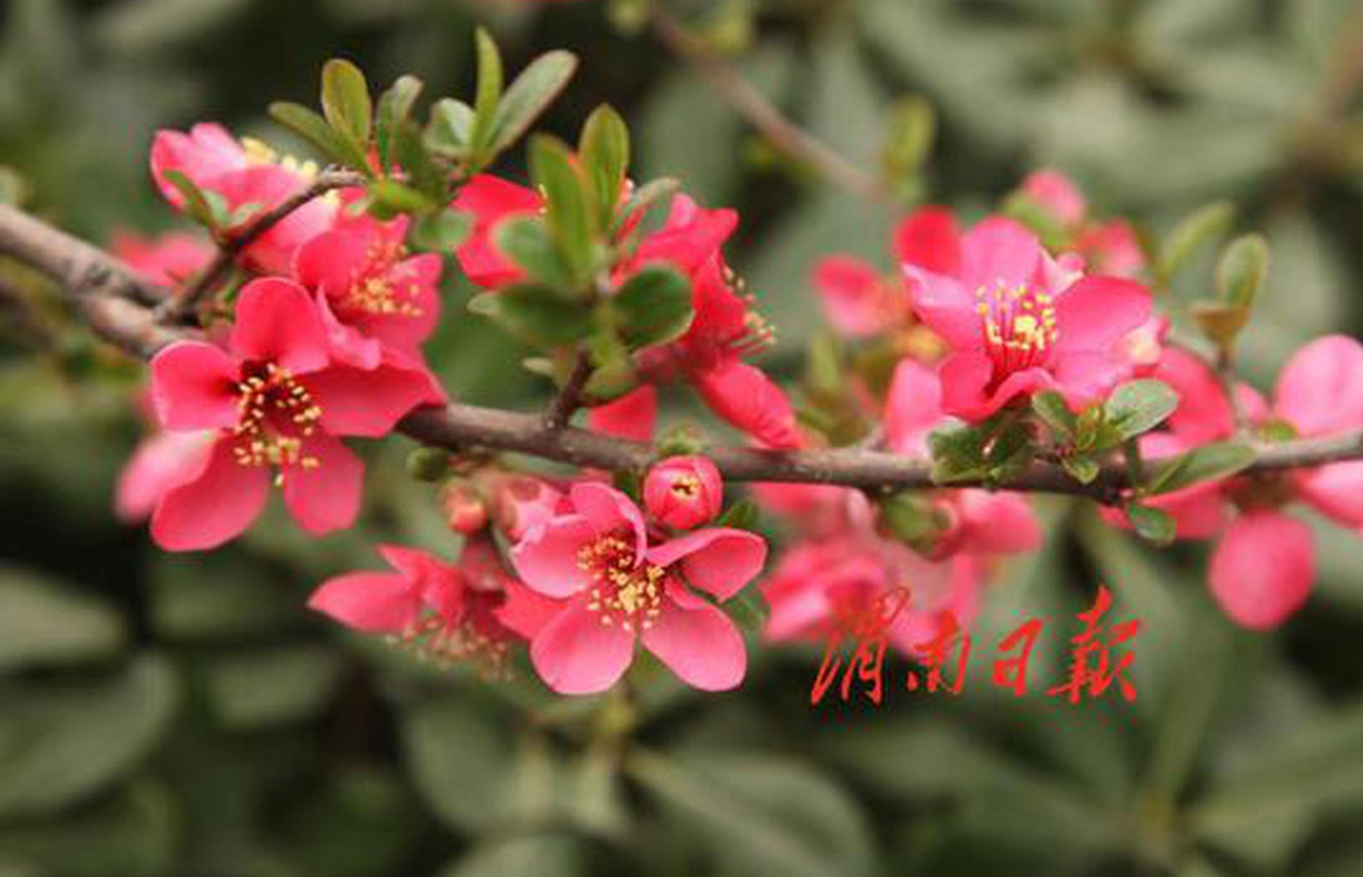 渭南城区花开春意浓