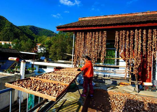 略阳县五龙洞镇群众自力更生发展香菇产业