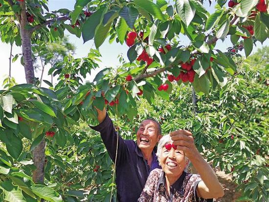 5月18日,今年72岁的铜川新区正阳路街道鱼池村村民师志岗和老伴儿在樱桃园采摘樱桃。