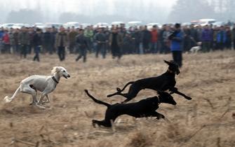 华山华阴举办细犬展 300多细犬参赛