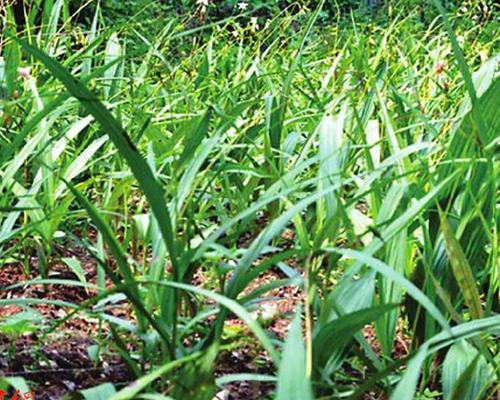 安康农民挖野生白芨种植 两分地一年赚10万元