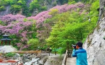 初春去太白山 看那满山遍野的紫荆花